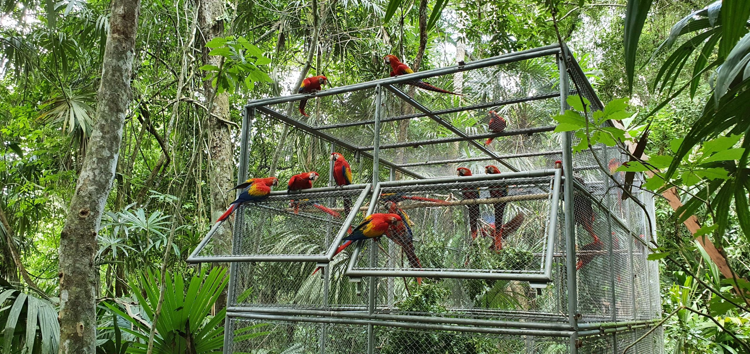 The 26 scarlet macaws reared by the WCS Guatemala Program are released but can come. Photo courtesy of WCS.