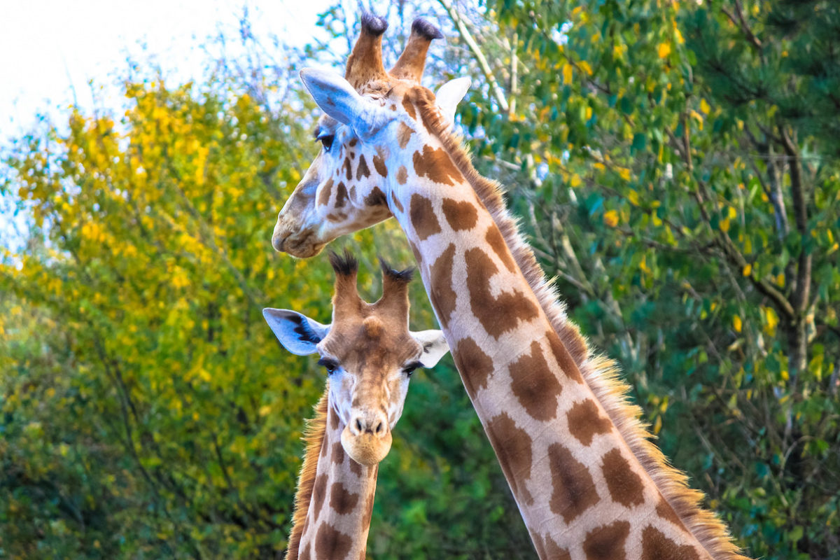 Does trophy hunting hurt giraffe populations? A planned lawsuit says it does