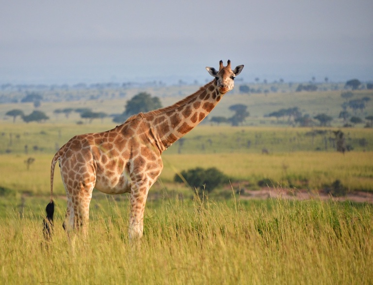 Young giraffe in Uganda. Image by Rod Waddington / Flickr.