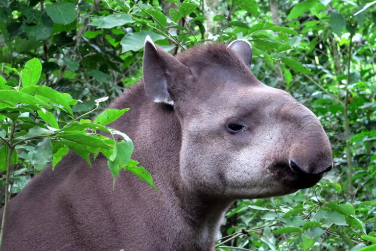 Tapir at the Ambue Ari Sanctuary of Comunidad Inti Wara Yassi. Courtesy of CIWY