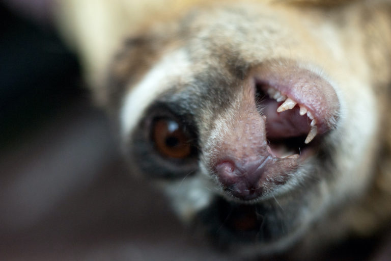 An adult male Loris showing its teeth. Photo by by Andrew Walmsley courtesy of the Little Fireface Project.