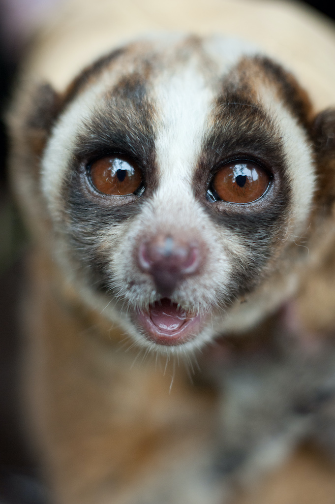 Adult male loris showing its venomous saliva. Photo by Andrew Walmsley courtesy of the Little Fireface Project.