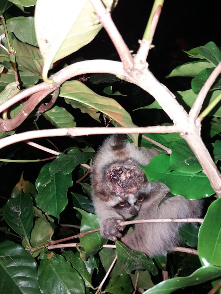 A young loris with a head wound inflicted by another loris. Photo by Katey Hedger courtesy of the Little Fireface Project.