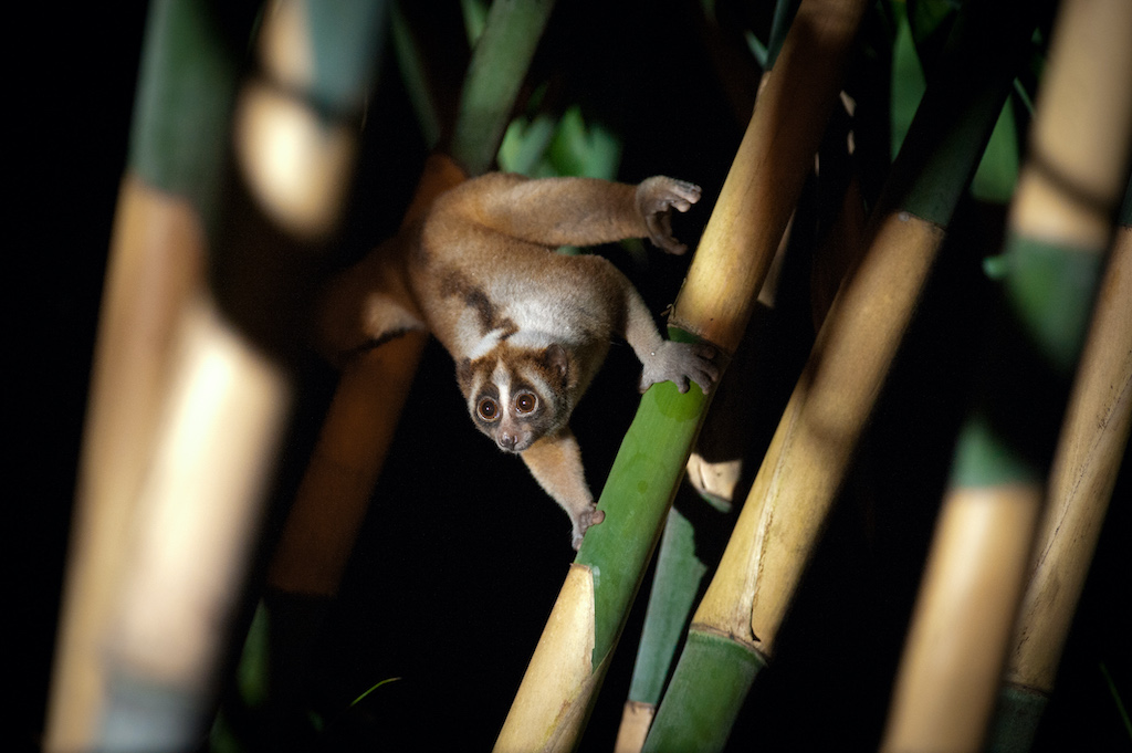 A Javan slow loris in the wild. by Andrew Walmsley courtesy of the Little Fireface Project.