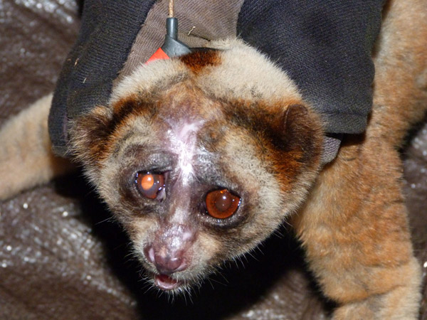 Javan slow loris that was attacked by another slow loris, showing the devastating affects of slow loris venom (photo by Johanna Rode)