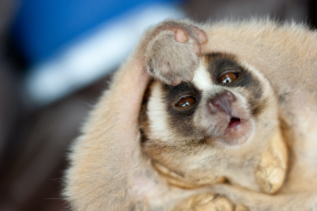 A young loris in its defensive venom pose. Photo by Andrew Walmsley courtesy of the Little FIreface Project