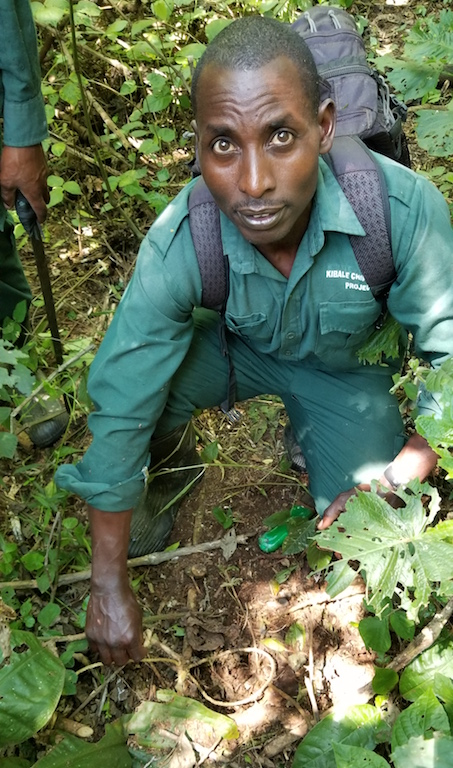 Paul Mugisha, the head of the Kibale Snare Removal Program's patrols, examines a rope snare before destroying it. Image by Alex Dudley.