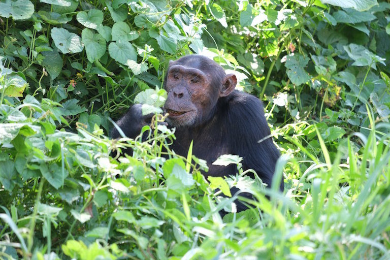 In Uganda, safeguarding chimpanzees against the scourge of snaring