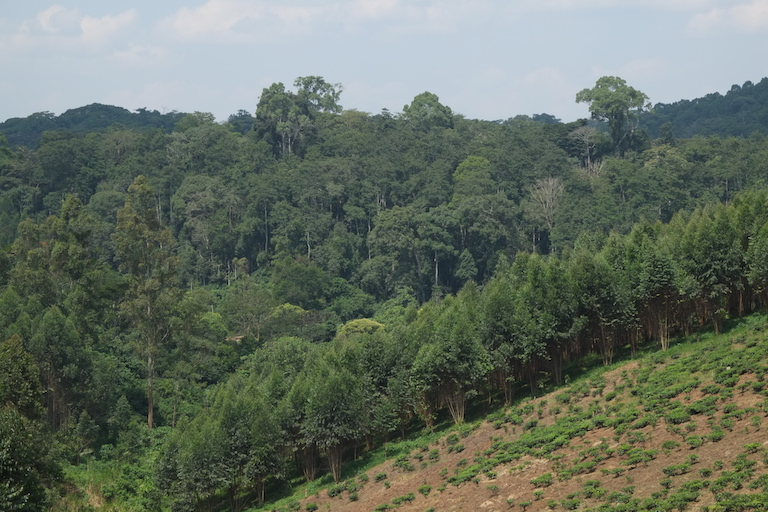 "Kibale National Park, the last expanse of mid-altitude tropical rainforest in East Africa, is clearly juxtaposed against the surrounding agricultural landscape of eucalyptus and tea plantations. As human populations in the area rose by almost 400 percent during the latter half of the twentieth century, the park became an ""ecological island."" Image by Alex Dudley."
