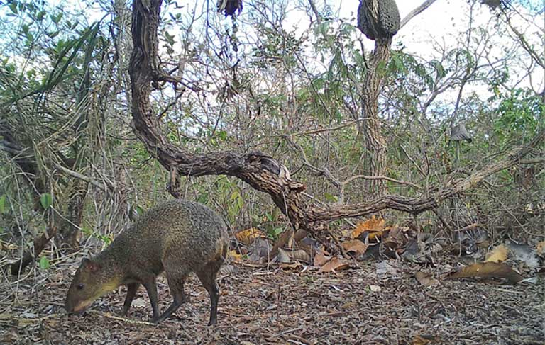 An agouti browses native savanna vegetation. Agoutis are frequently hunted by poachers. Image courtesy of Guilherme Ferreira/Instituto Biotrópicos.