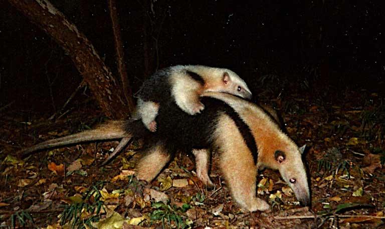 Lesser anteaters (Tamandua tetradactyla). Image courtesy of Guilherme Ferreira/Instituto Biotrópicos.