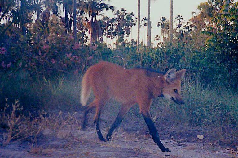 A Maned wolf (Chrysocyon brachyurus). Image courtesy of Guilherme Ferreira/Instituto Biotrópicos.