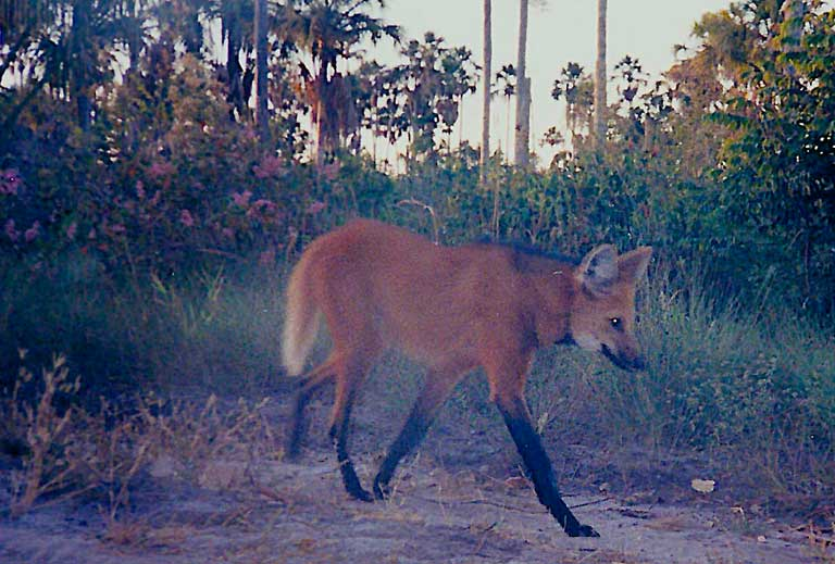 A Maned wolf (Chrysocyon brachyurus) on the move. Image courtesy of Guilherme Ferreira/Instituto Biotrópicos.