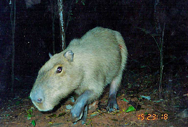 A capybara (Hydrochoerus hydrochaeris) captured by a Cerrado game camera. Image courtesy of Guilherme Ferreira/Instituto Biotrópicos.
