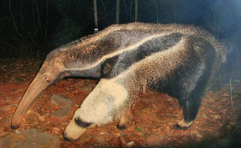 The tamandua-bandeira, or giant anteater (Myrmecophaga tridactylaImage). Image courtesy of Guilherme Ferreira/Instituto Biotrópicos.