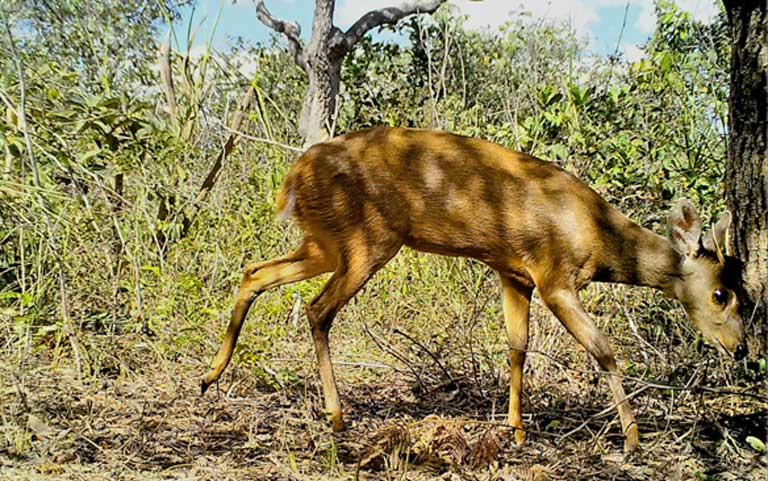 A brocket deer, the only larger mammal to inhabit fully protected parks and semi-developed areas in large numbers. Image courtesy of Guilherme Ferreira/Instituto Biotrópicos.