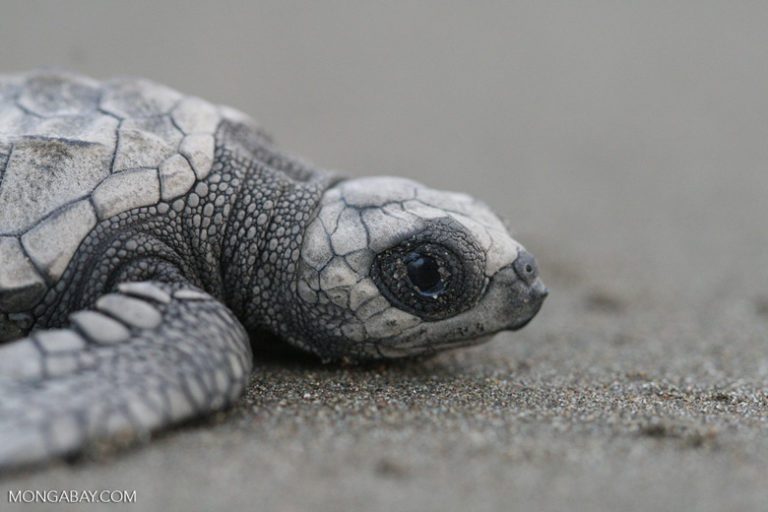 Newly hatched olive ridley sea turtle in Costa Rica. Photo by Rhett A. Butler.