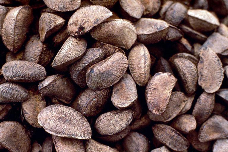 Brazil nuts. © Sir Ghillean Prance