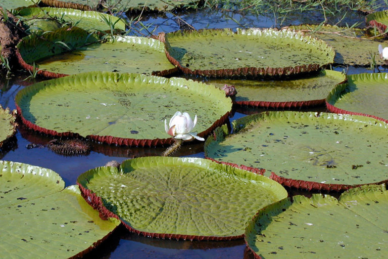 Victoria amazonica. © Sir Ghillean Prance