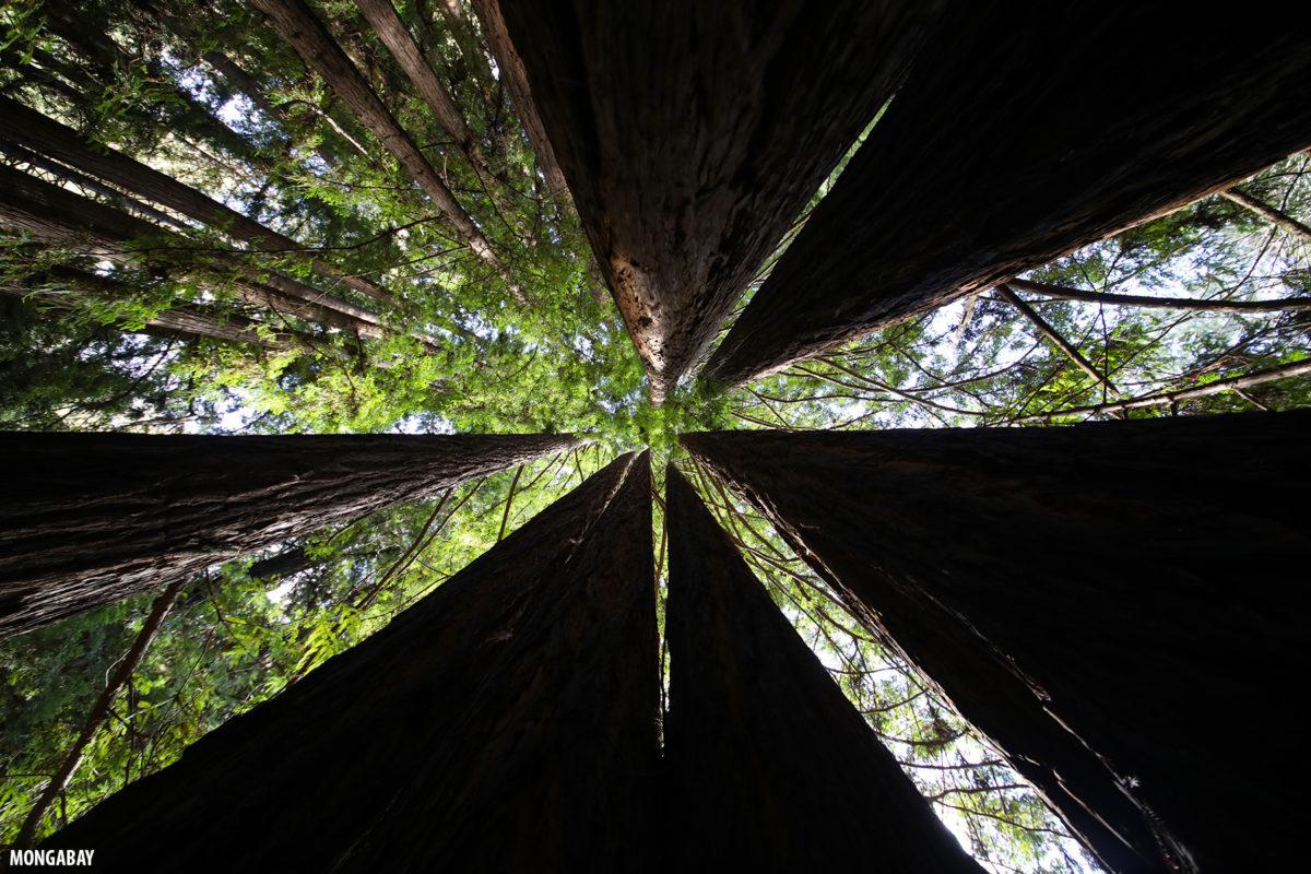 Redwood forest in Santa Cruz County, California. Photo by Rhett A. Butler for Mongabay.
