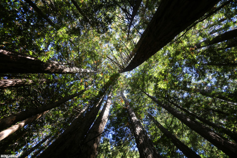 Redwood forest in Muir Woods, Marin County, California. Photo by Rhett A. Butler for Mongabay.