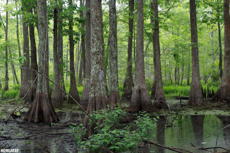 Bayou forest in Lacassine Wildlife Refuge, Louisiana. Photo by Rhett A. Butler.