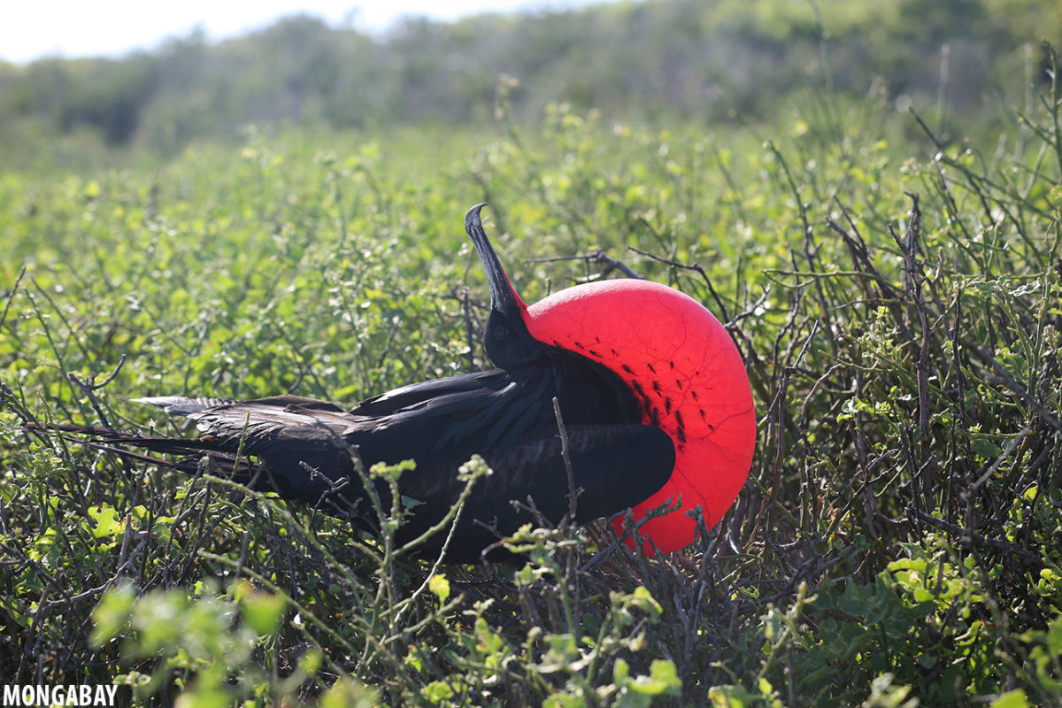 Frigatebird displaying in the Galapagos. The Wyss Campaign for Nature partnered with the Charles Darwin Foundation to strengthen the management of the 138,872 square kilometer Galapagos Marine Reserve. Photo by Rhett A. Butler