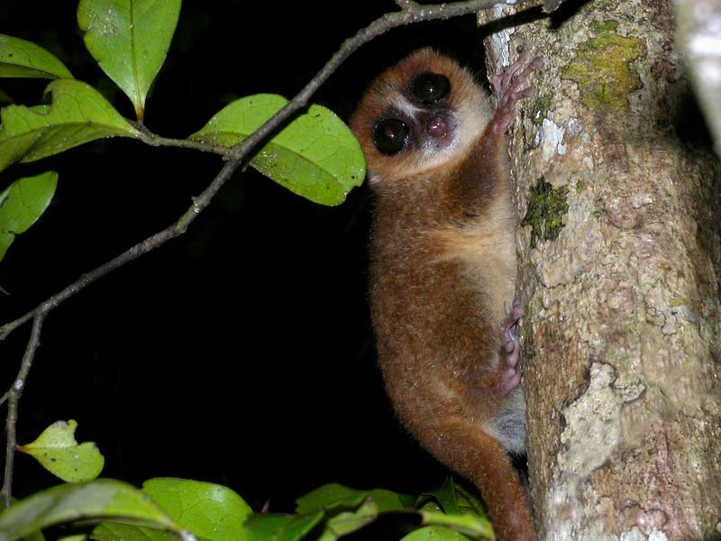 Brown Mouse Lemur, Nosy Mangabe, Madagascar. Frank Vassen Flickr CCBY2.0