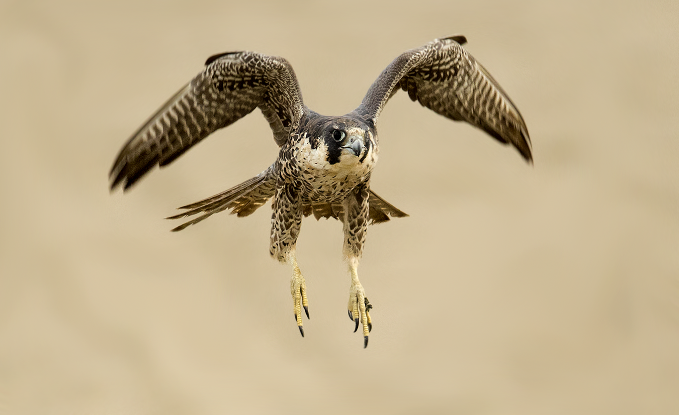Peregrine Falcon in Peru. Photo by Miguel Moran.