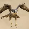 Peregrines falcon in Peru. Photo by Miguel Moran.