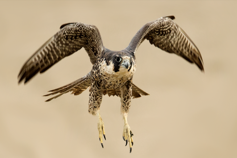 Peregrines falcon in Peru. Photo by Miguel Moran.