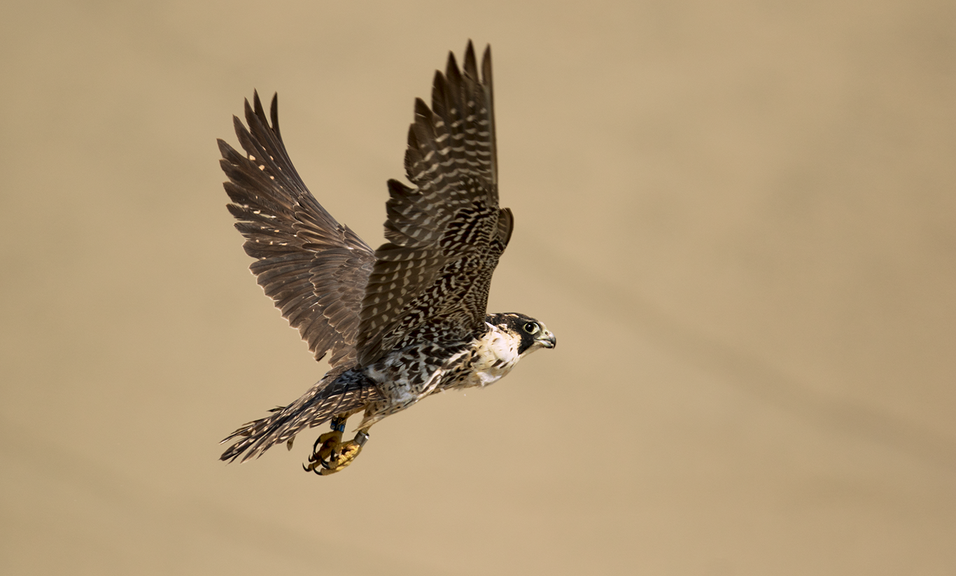 A banded North American peregrine falcon. Photo by by Miguel Moran