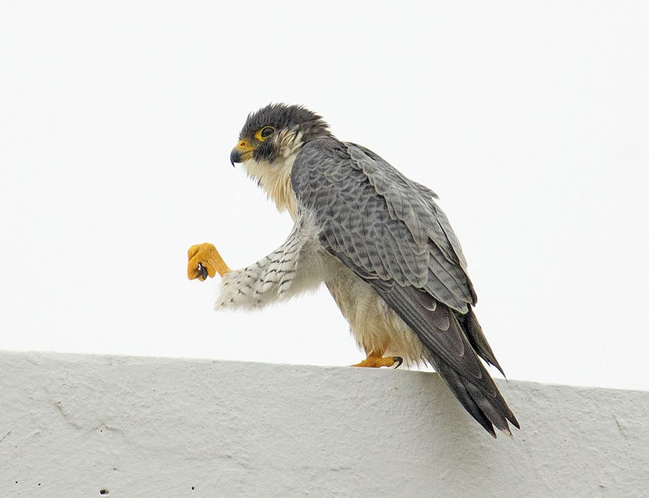North American peregrine falcon wintering in Peru. Photo by Miguel Moran.