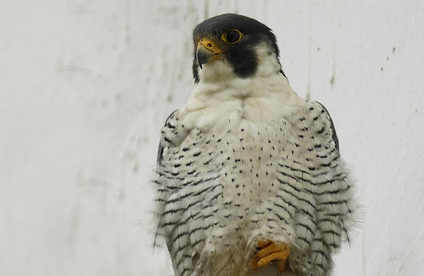 North American peregrine falcon in Lima, Peru. Photo by Miguel Moran.