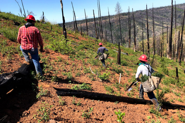 Conducting climate-informed reforestation in an area burned by the Camp Fire in California. Courtesy of American Forests.