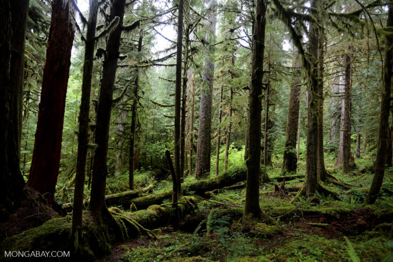 Forest on the Olympic Peninsula, Washington. Photo by Rhett A. Butler.
