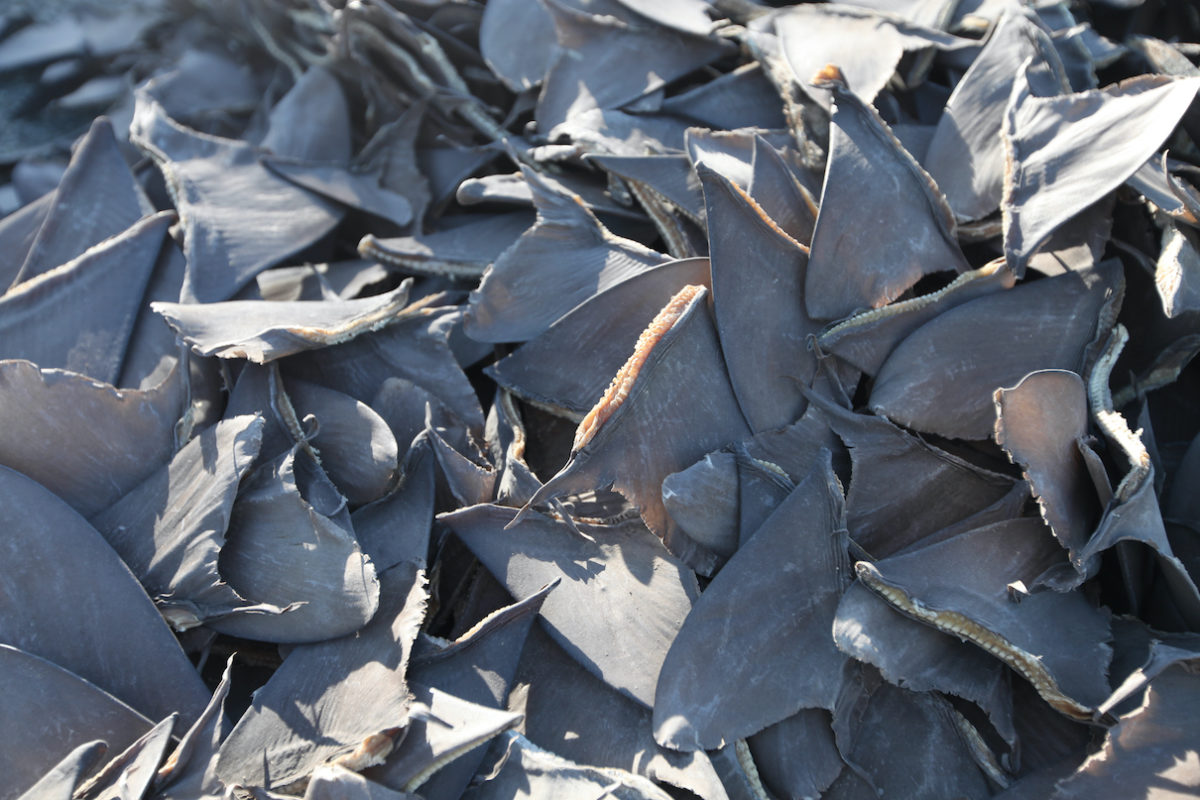 Efforts to tackle shark fin trade need to focus closer to shore, study says