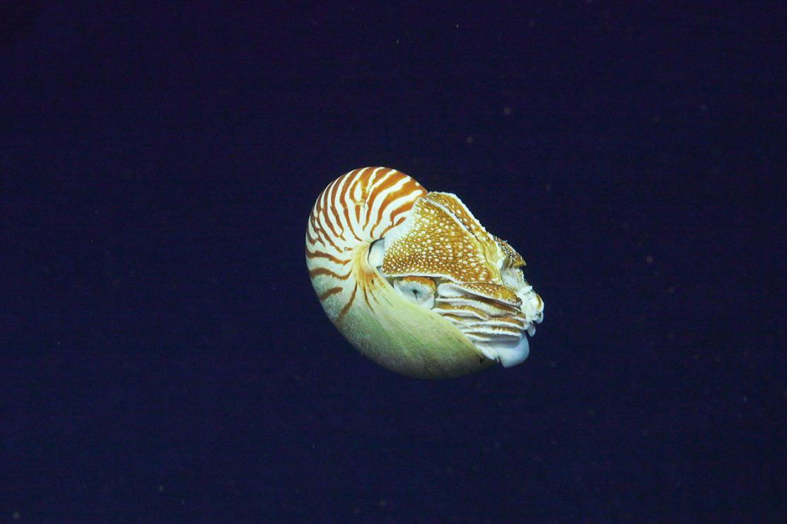 Deepsea nautilus. Courtesy of the Schmidt Ocean Institute.