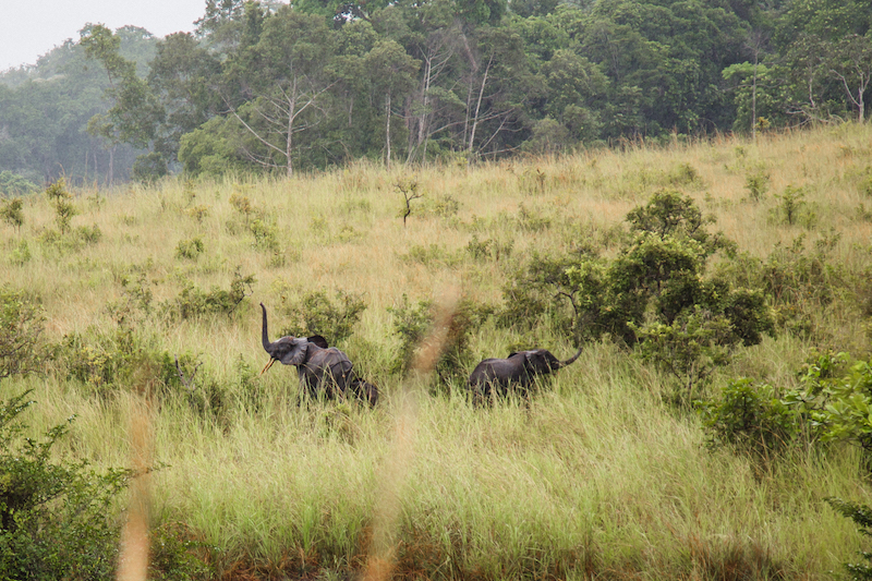 Elephant, Lopé National Park, Gabon. Image by Nathalie Bertrams for Mongabay.