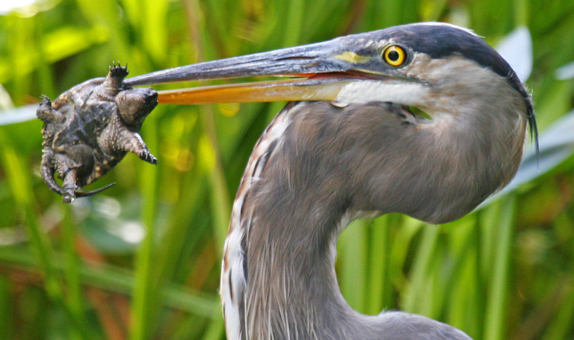 A great blue heron (Ardea herodias) eating a common snapping turtle (Chelydra serpentina) hatchling. These animals depend on wetlands for their survival. Photo by John Harrison via Wikimedia Commons. (CC BY-SA 3.0).