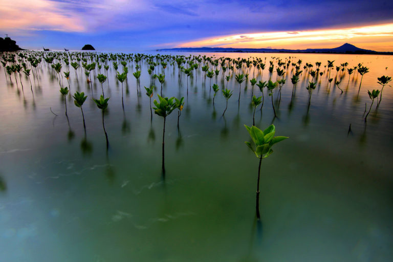 Planted mangrove seedlings. Image by Irwandi wancaleu via Wikimedia Commons (CC 4.0)