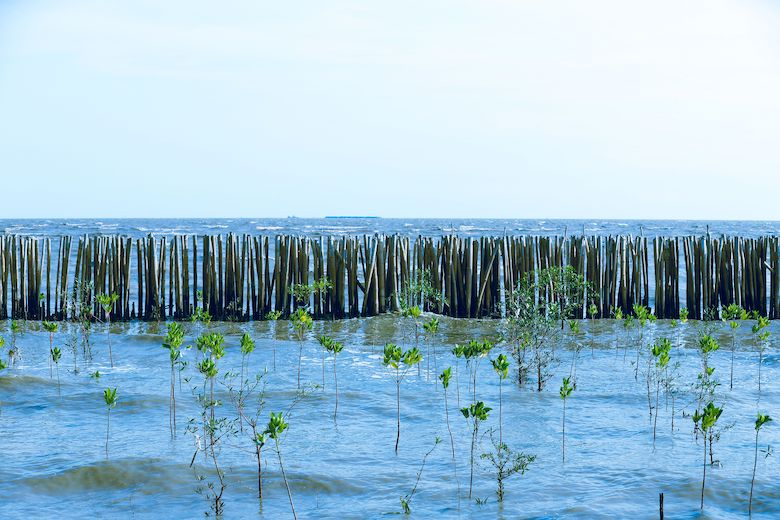 A bamboo fence protects a young, replanted mangrove forest from the tempestuous sea. Image from Shutterstock via IUCN.