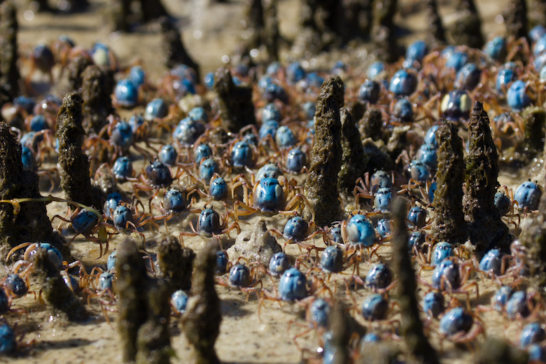 An army of soldier crabs (Mictyris longicarpus) marches through a forest of aerial roots of the mangrove Avicennia marina, feeding on detritus and microorganisms. They spend the majority of their time buried in the sand, appearing at low tides to form roaming groups. Image by Matthew Nitschke/University of Queensland via Wikimedia Commons (CC 4.0)