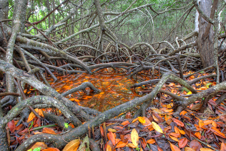 "Aboveground mangrove roots are also called ""knees."" Image by Everglades NPS."