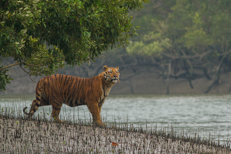 A Bengal tiger surveys its domain in the Sundarbans mangrove. Image by Soumyajit Nandy via WIkimedia Commons (CC 4.0)