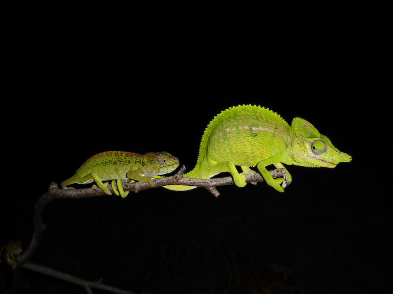 A male (right) and female (left) Voeltzkow's chameleon. Image by Frank Glaw.