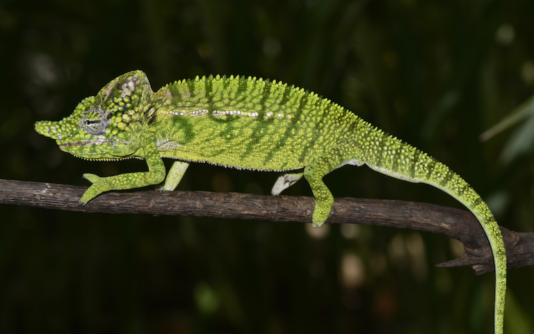 A male Voeltzkow's chameleon. Image by Frank Glaw.