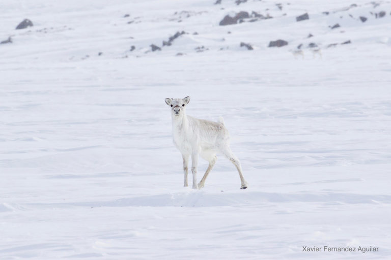 Caribou calf. Photo © Xavier Fernandez Aguilar