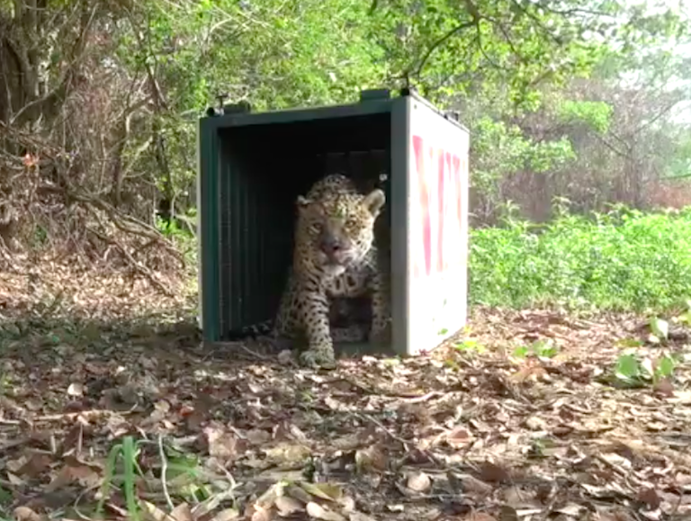 Rescued jaguar being released back into the wild. Image by Panthera.