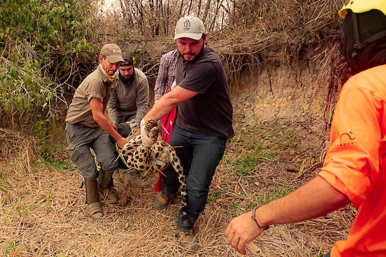 Ousado being rescued in the Pantanal. Image by Jose Medeiros / Panthera.